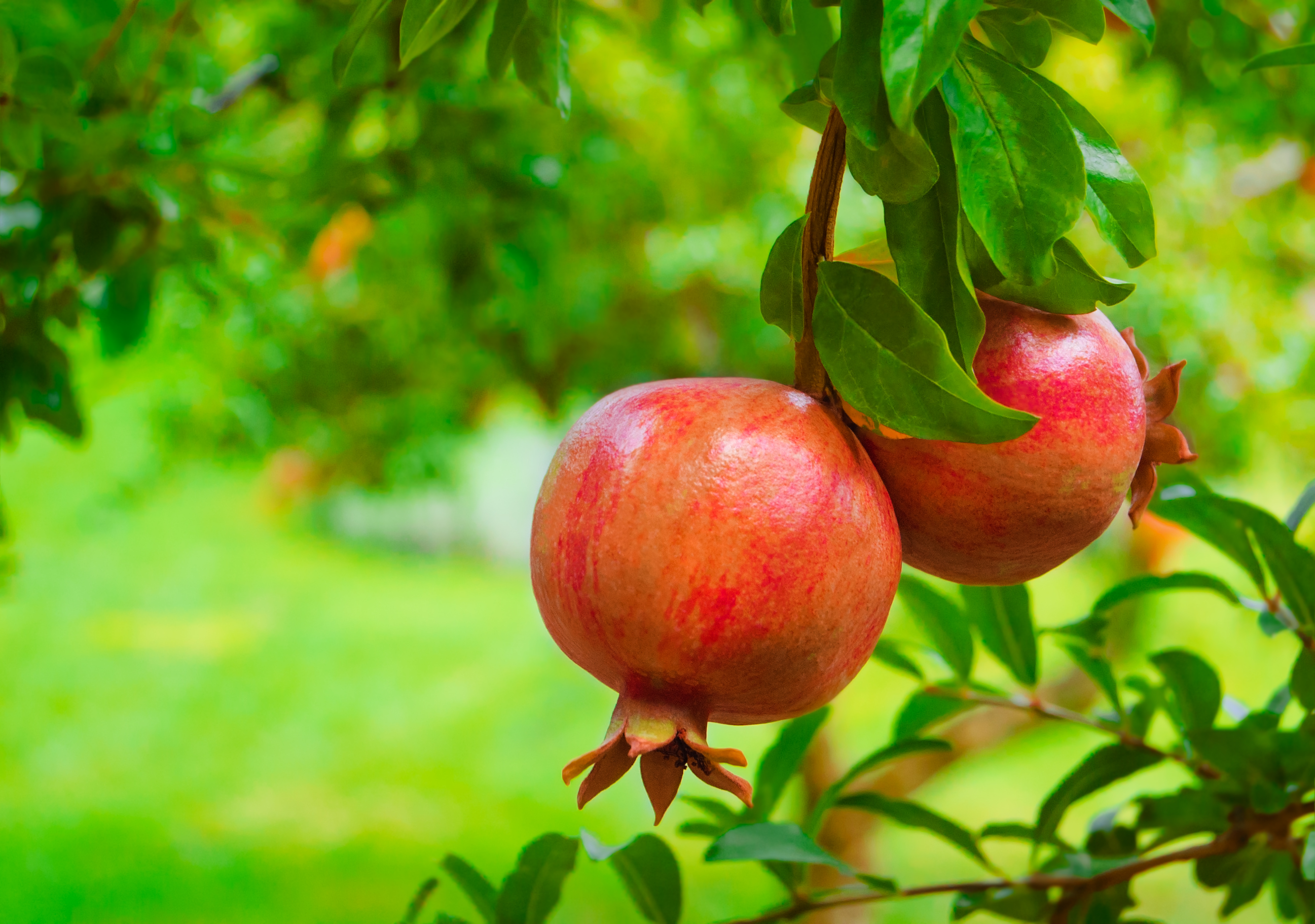 Nutripremier - Ripe Colorful Pomegranate Fruit on Tree Branch